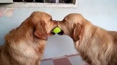 Four dogs, one tennisball