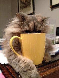 thirsty cat.