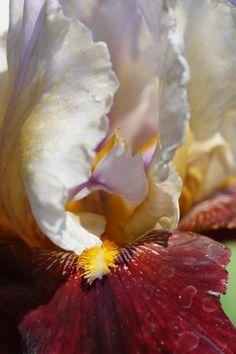 2011/5/18 京都府立植物園/Photo was taken in The Kyoto Botanical Garden ジャーマンアイリス/Iris cv.(品種群の総称) アヤメ科アヤメ属の多年草。英名 Tall bearded iris。