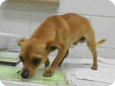 Winter Haven, FL - Chihuahua Mix. Meet A871014, a dog for adoption. http://www.adoptapet.com/pet/17226926-winter-haven-florida-chihuahua-mix