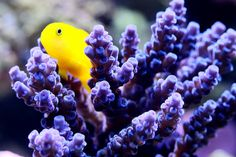 Getting a pair of Yellow Clown Gobies (Gobiodon okinawae) for the tank and getting them to mate/spawn/and raising the babies would be fun!