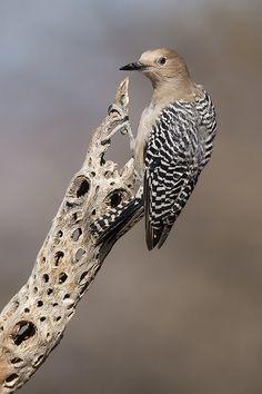 Female Gila Woodpecker | by Jeff Dyck