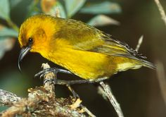 The 'Akiapōlā'au (pronounced ah-kee-ah-POH-LAH-OW) is a member of the highly specialized Hawaiian honeycreeper family. This species is most notable for its mismatched-looking beak that has a long, downward-curving upper mandible, used for probing, and a shorter lower mandible, used as a drill as the bird creeps along tree trunks and branches, probing for arthropods under the bark. It also takes flower nectar and drinks sap from shallow wells it drills in live bark.