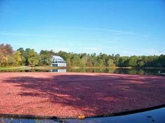 Cranberry Harvest at Double Trouble State Park (2008 photo)