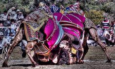 Two camels wrestling  - http://www.turkeytravelcentre.com/blog/camel-wrestling-festival-selcuk-turkey/#