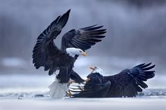"""""""Chilkat Eagle Preserve, Alaska 