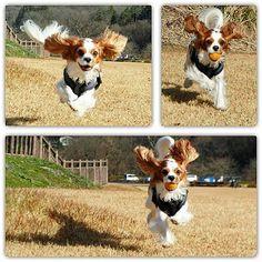 いい顔してるね~ #おさんぽ #いつもの公園 #run #ニコニコ #飛行犬 #キャバリア #キャバリアキングチャールズスパニエル #ブレンハイム #テリー #元気玉 #元気宅配便
