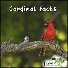 "DID YOU KNOW...  Cardinals, also known as ""redbirds"" are easily identified by even casual bird watchers.   The beautiful, brilliant red plumage is only sported by the male. And the brighter they are, the more likely they are to get a mate!  The males can be very aggressive defending their territory. These aggressive tendencies have sometimes led cardinals to fly into glass windows charging an ""intruding bird"" when it is in fact their own reflections. #Redbirds #Cardinals #BirdRemovalSCNC"