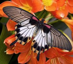 Great Mormon Butterfly - would make a beautiful cane.