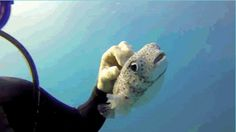 Curious Pufferfish Discovers He Really, Really Likes Being Pet - full video on the link (2:19 is where this gif is!)