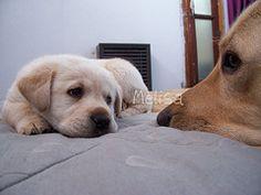 Labrador retriever-So cute i want a puppy!