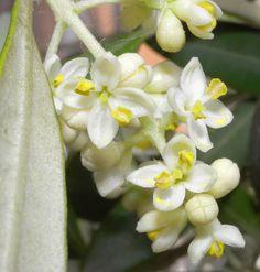 Primavera. Olivo en flor. Olive tree flowers