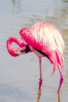 the colors of nature flamingo pink! Pretty Birds, Love Birds, Beautiful Birds, Animals Beautiful, Pretty In Pink, Beautiful Swan, Beautiful Pictures, Flamingo Art, Pink Flamingos