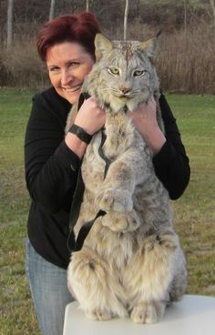 Canada Lynx...I want one too!