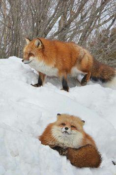 Red Foxes - Photographer unknown