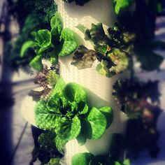 Bibb and Cherokee Lettuce in a Tower Garden upload by LivingTowers, via Flickr