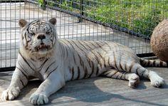 Irmãos cruzam e tigre branco nasce com síndrome similar à Síndrome de Down