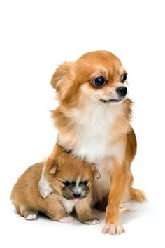 I want another one... Chihuahuas are so darn cute. #chihuahua #chihuahuatypes #chihuahuadogs