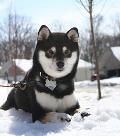 Shiba Inu, lovely little bear hounds (smallest of the Japanese hunting breeds) simply gorgeous. I'd love to own one someday!