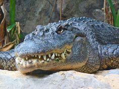 http://upload.wikimedia.org/wikipedia/commons/6/69/Alligator_mississippiensis_01.JPG