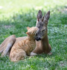 Amazing... a cat and a deer in love!