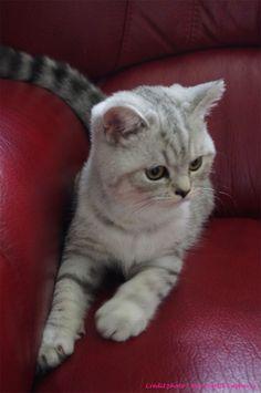 Ilton, chaton mâle british shorthair de 4,5 mois. Crédit photo : Bernadette Capparos