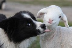 Border Collie & friend