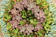 Of Succulent Wreaths and Cuttings