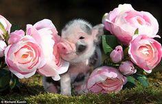 Tea Cup Piggy!