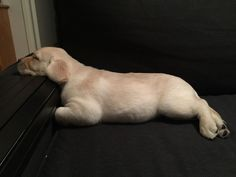 Not sure if my puppy is actually a puppy or a seal... Dog Commands Training, Dog Training Tools, Basic Dog Training, Training Your Puppy, Best Puppies, Cute Puppies, Dogs And Puppies, Doggies, Yellow Lab Puppies