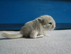 Baby Chinchilla..ah! so adorable, must have!