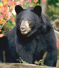 440 Best Black Bears Images On Pinterest In 2018 Wild Animals American Bear And Baby