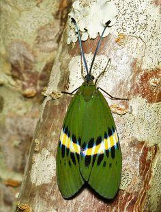 Zygaenid Day-Flying Moth (Eterusia repleta) | by John Horstman