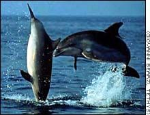 Striped dolphins. Gorgeous to look at..long stripes of dark blue on a lighter blue body.....usually in groups or with another