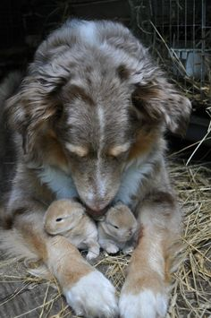 A mother dog who has adopted some bunnies.