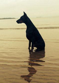 #Doberman #breed