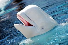 Baby beluga in the deep blue sea.swim so wild and you swim so free.heaven above and the sea below and the little white whale on the go! Beautiful Creatures, Animals Beautiful, Cute Animals, Happy Animals, Artic Animals, Smiling Animals, Animals Sea, Animals Amazing, Orcas