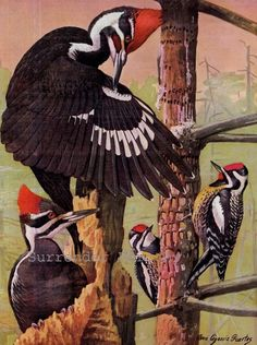 Pileated Woodpecker Sapsucker Bird Ornithology by SurrenderDorothy
