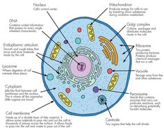 Why cell is the basic unit of life? Biology College, Biology Teacher, Cell Biology, Science Biology, Teaching Biology, Biology Projects, Biology Lessons, Human Cell Diagram, Human Cell Structure
