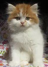 ragamuffin kittens for sale Ragamuffin Kittens, Kitten For Sale, Cats, Animals, Gatos, Animales, Animaux, Animal, Cat