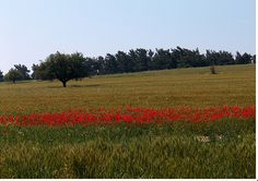 The poppy field in Gallipoli are of historical significance to New Zealand because it represents where people from our country fought in war.