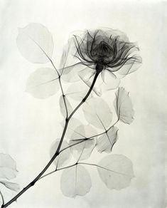 医療と芸術の融合。X線フィルムで医者が撮影した花たち   ARTIST DATABASE