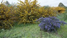 Gardening 101: Flannel Bush - Gardenista Fast Growing Evergreens, California Garden, Sandy Soil, Evergreen Shrubs, Drought Tolerant Plants, Public Garden, Hedges, Yellow Flowers, Green Leaves