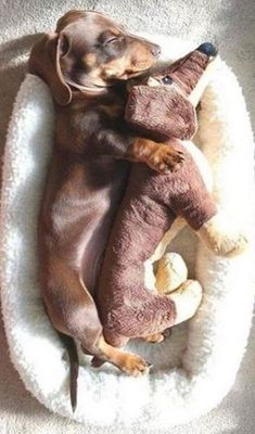 A Cute Dachshund Dog Sleeping With A Furry Friend - Funny Animals Funny Dachshund, Dachshund Puppies, Dachshund Love, Pet Dogs, Doggies, Dapple Dachshund, Daschund, Chihuahua Dogs, Dog Cat