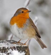 Tony Hisgett: Robin in the snow . 'Christmas Card' Robin seen at Sandwell Park Farm, Sandwell Valley Red Robin, Robin Bird, Robin Vogel, Common Garden Birds, Robin Photos, European Robin, Robin Redbreast, British Garden, Different Birds