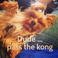 Yorkie meme. FancyElizabeth. Dog meme.