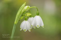 Spring snowflakes by H_D. @go4fotos