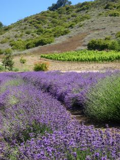 Just over the hill from Santa Barbara in beautiful Ojai, California, are the lavender fields of New Oak Ranch.