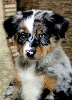 Australian shepherd sooo cute - My Doggy Is Delightful Australian Shepherd Puppies, Aussie Puppies, Cute Dogs And Puppies, I Love Dogs, Doggies, Blue Merle Australian Shepherd, Aussie Shepherd, Puppies With Blue Eyes, Mini Australian Shepherds