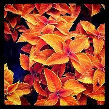 Pots overflowing with SIENNA COLEUS would be a nice touch by front door during fall months & Thanksgiving